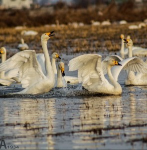 Whooper swans come to northern Iran two weeks earlier