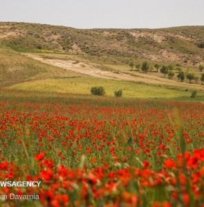 Mehr News Agency - Poppy fields in North Khorasan province
